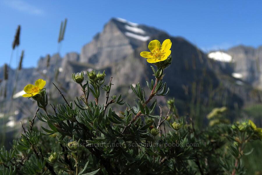 shrubby cinquefoil (Dasiphora fruticosa (Potentilla fruticosa)) [Grinnell Glacier Trail, Glacier National Park, Montana]