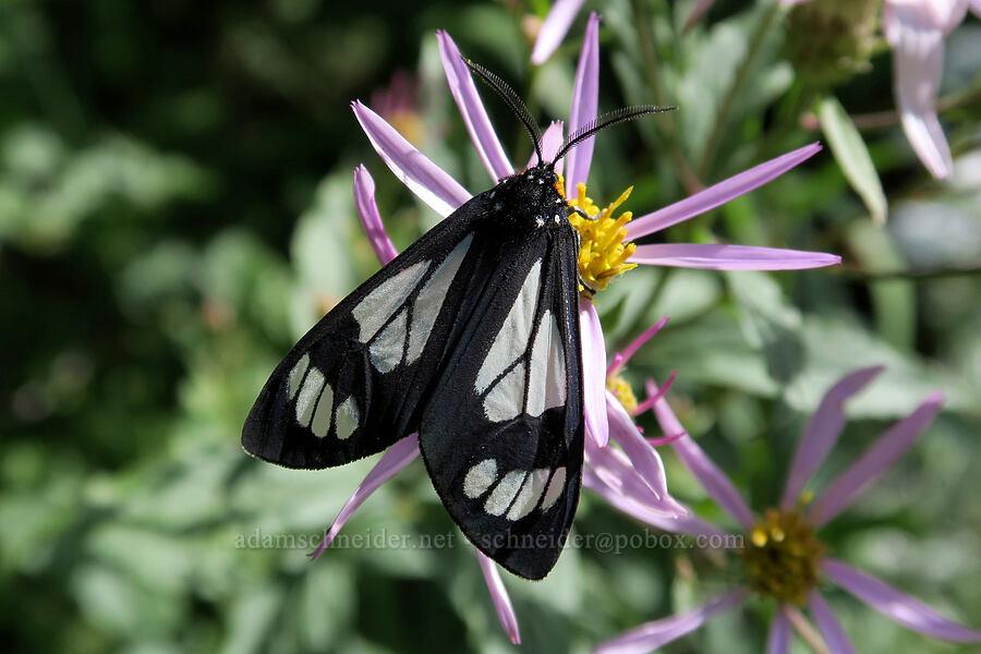 police-car moth (Gnophaela vermiculata) [Grinnell Glacier Trail, Glacier National Park, Montana]