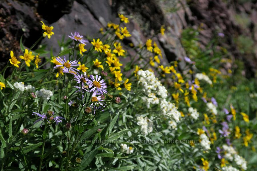 fleabane, pearly everlasting, & arnica (Erigeron sp., Anaphalis margaritacea, Arnica sp.) [Grinnell Glacier Trail, Glacier National Park, Montana]