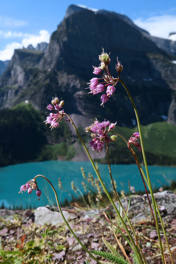 nodding onion (Allium cernuum) [Grinnell Glacier Trail, Glacier National Park, Montana]