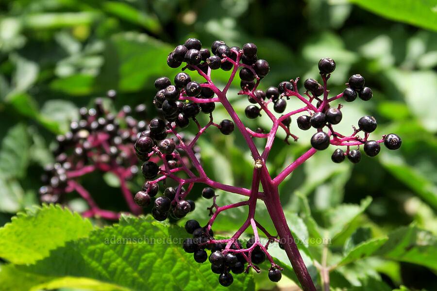 black elderberries (Sambucus racemosa var. melanocarpa) [Grinnell Glacier Trail, Glacier National Park, Montana]