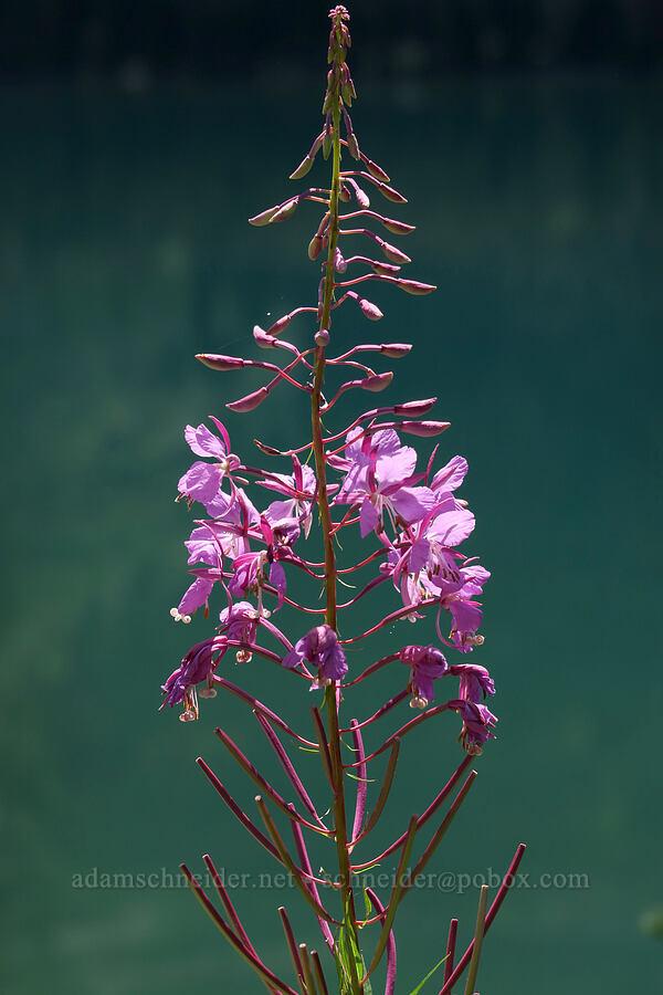 fireweed (Chamerion angustifolium (Epilobium angustifolium)) [Grinnell Glacier Trail, Glacier National Park, Montana]