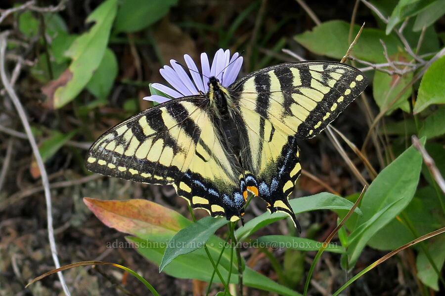 western tiger swallowtail butterfly (Papilio rutulus) [Grinnell Glacier Trail, Glacier National Park, Montana]