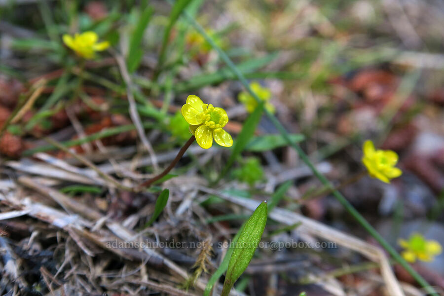 creeping spearwort (buttercup) (Ranunculus flammula) [Swiftcurrent Nature Trail, Glacier National Park, Montana]