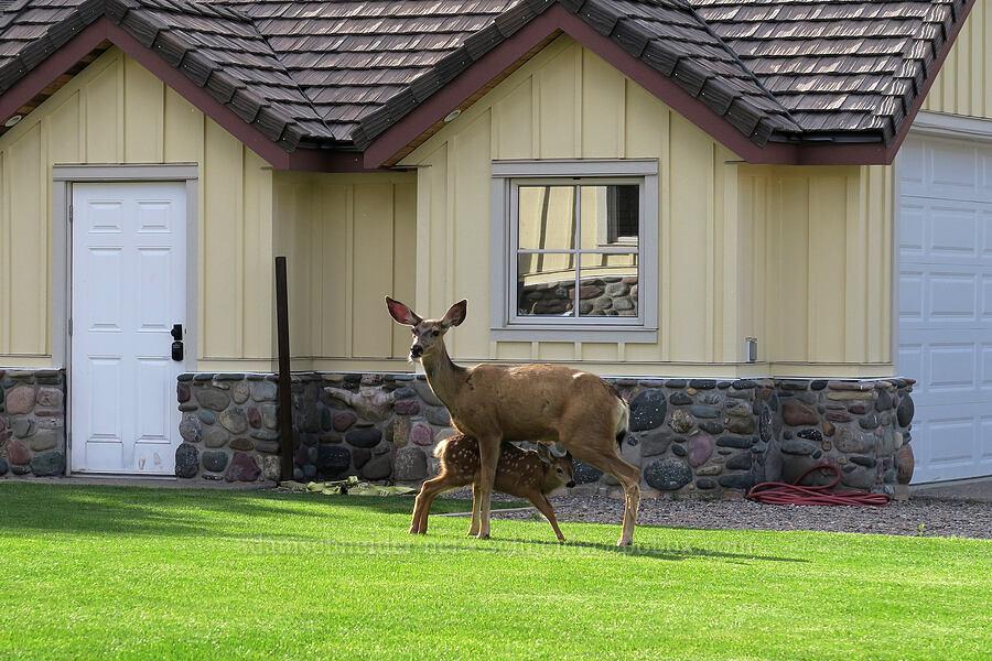mule deer (doe & fawn) (Odocoileus hemionus) [Waterton Townsite, Waterton Lakes National Park, Alberta, Canada]