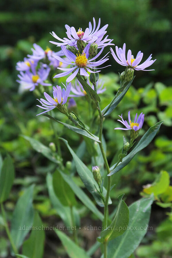 Geyer's smooth aster (Symphyotrichum laeve var. geyeri (Aster laevis)) [Bear's Hump Trail, Waterton Lakes National Park, Alberta, Canada]