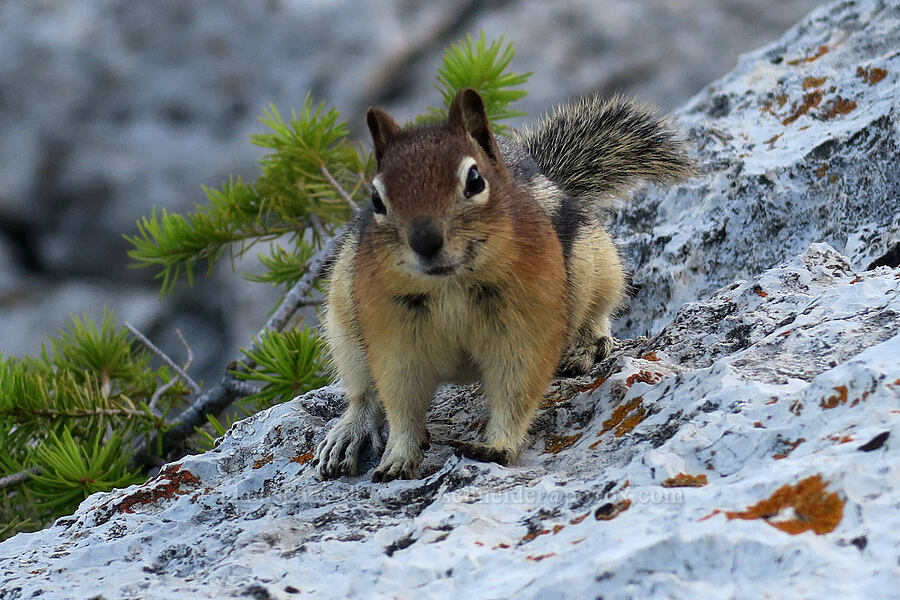 golden-mantled ground squirrel (Callospermophilus lateralis) [Bear's Hump Trail, Waterton Lakes National Park, Alberta, Canada]