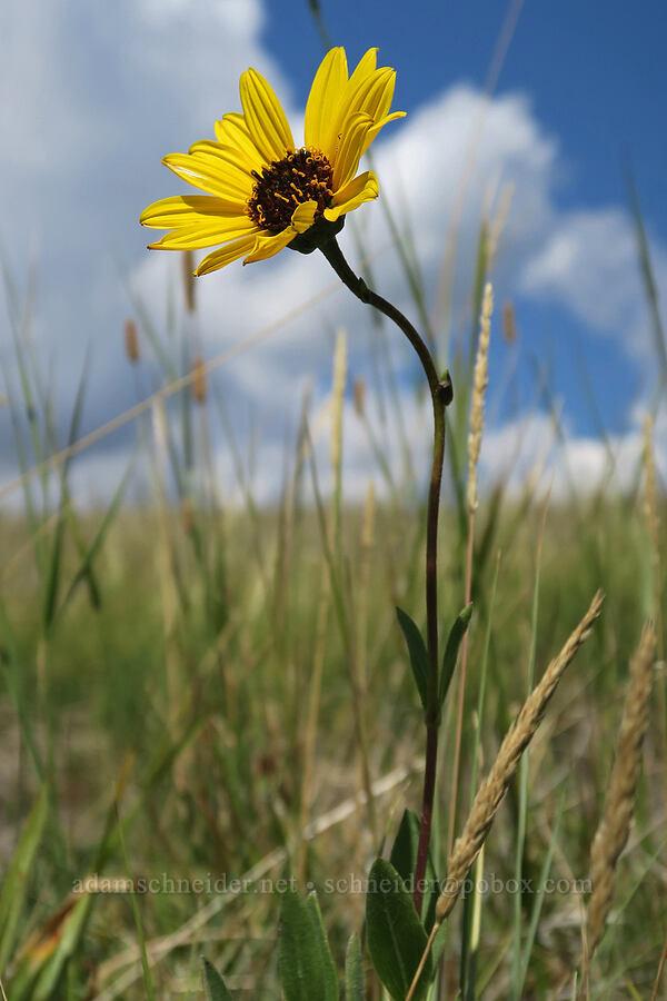 stiff sunflower (Helianthus pauciflorus) [Bison Paddock, Waterton Lakes National Park, Alberta, Canada]