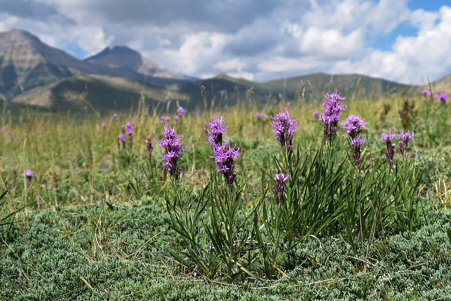 dotted gay-feather (Liatris punctata) [Bison Paddock, Waterton Lakes National Park, Alberta, Canada]