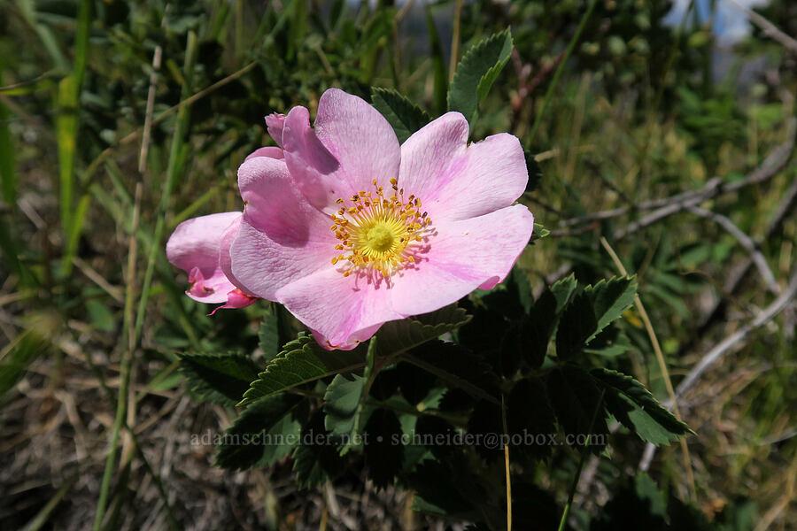 wild rose (Rosa sp.) [Bison Paddock, Waterton Lakes National Park, Alberta, Canada]