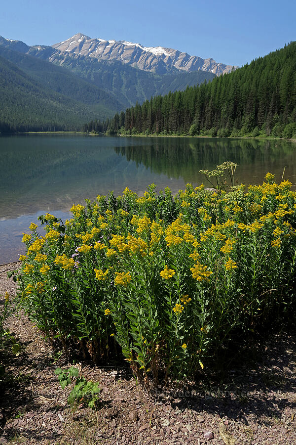 goldenrod & Great Northern Mountain (Solidago sp.) [Stanton Lake Trail, Great Bear Wilderness, Montana]