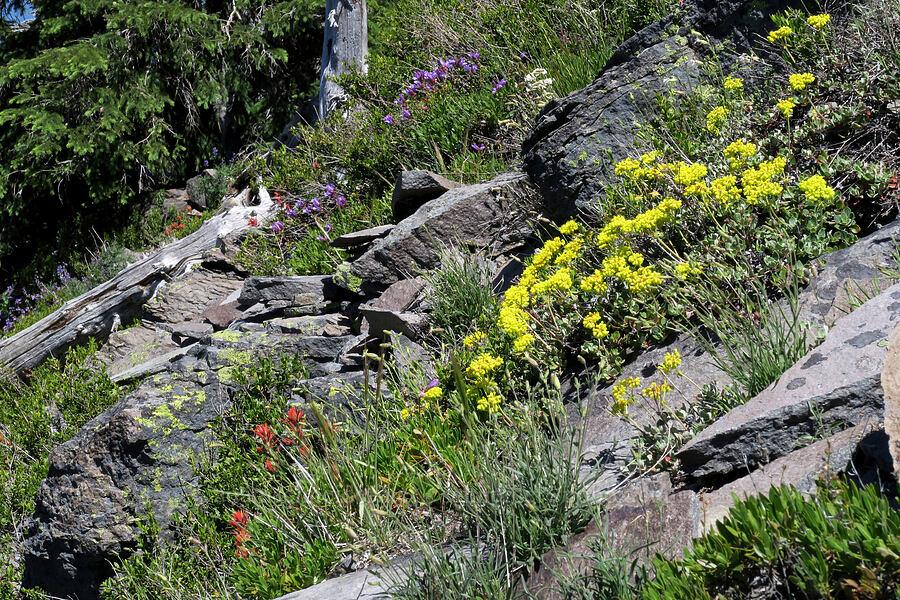 wildflowers (Eriogonum umbellatum, Penstemon fruticosus, Castilleja sp.) [Lookout Mountain Trail, Badger Creek Wilderness, Oregon]