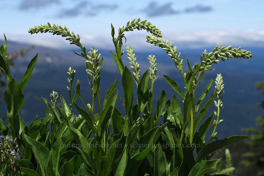 rainiera, budding (Rainiera stricta (Luina stricta)) [Lookout Mountain Trail, Badger Creek Wilderness, Oregon]