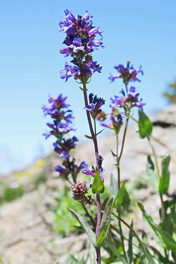 penstemon (Penstemon sp.) [Lookout Mountain Trail, Badger Creek Wilderness, Oregon]