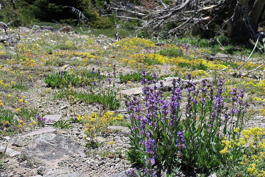 penstemon, sulphur flower, & yarrow (Penstemon euglaucus, Eriogonum umbellatum, Achillea millefolium) [Lookout Mountain Trail, Badger Creek Wilderness, Oregon]