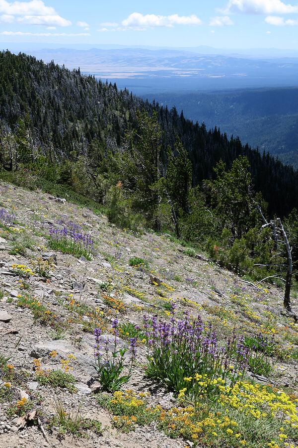 penstemon, sulphur flower, & yarrow (Penstemon euglaucus,Eriogonum umbellatum,Achillea millefolium) [Lookout Mountain Trail, Badger Creek Wilderness, Oregon]