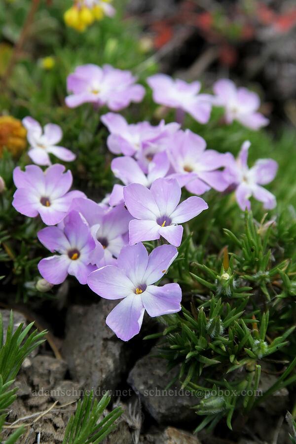 spreading phlox (Phlox diffusa) [Lookout Mountain Trail, Badger Creek Wilderness, Oregon]