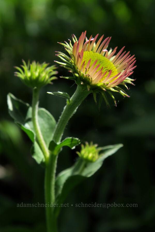 subalpine fleabane, starting to flower (Erigeron glacialis) [Lookout Mountain Trail, Badger Creek Wilderness, Oregon]