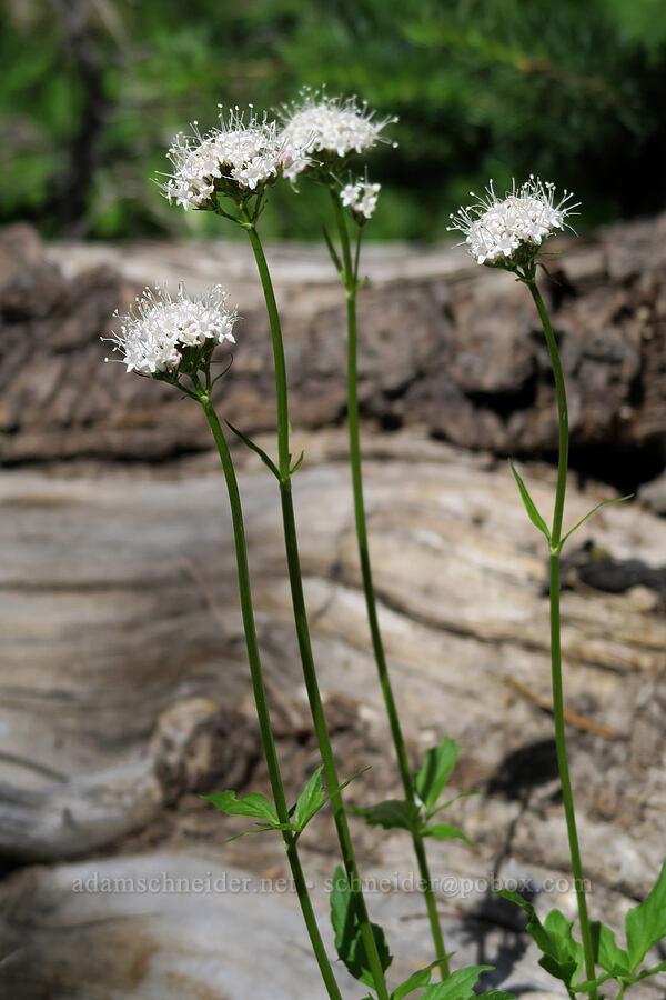Sitka valerian (Valeriana sitchensis) [Lookout Mountain Trail, Badger Creek Wilderness, Oregon]