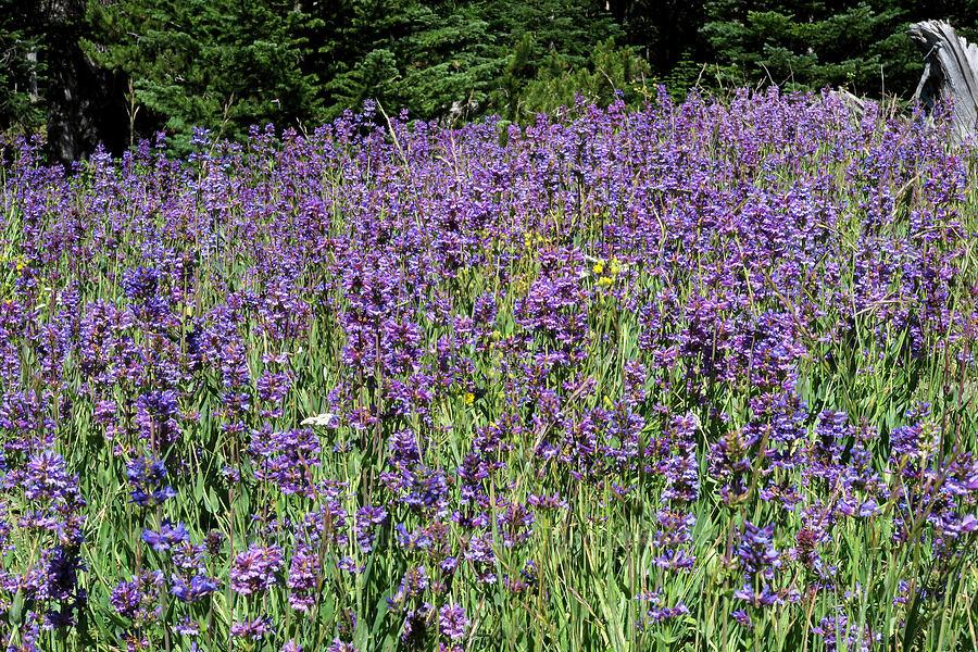glaucous penstemon (Penstemon euglaucus) [Forest Road 4410, Mt. Hood National Forest, Oregon]
