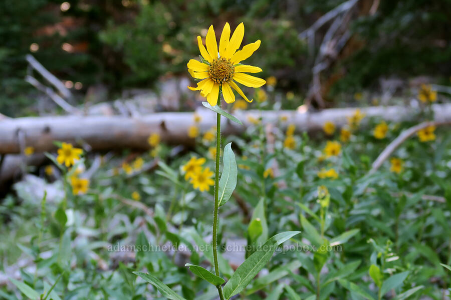 false sunflower (Helianthella uniflora var. douglasii) [Bulo Point, Mt. Hood National Forest, Oregon]