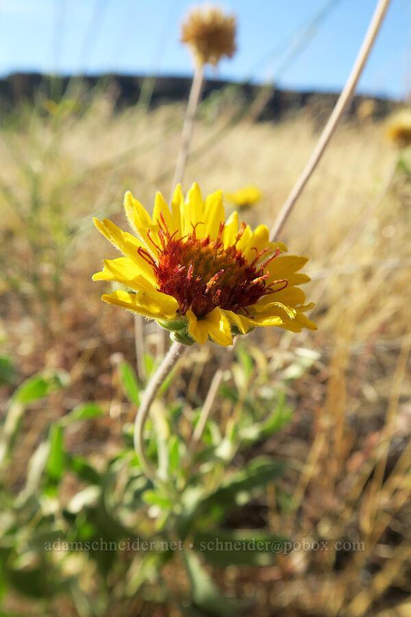 blanketflower (Gaillardia aristata) [Horsethief Butte Trail, Columbia Hills State Park, Washington]