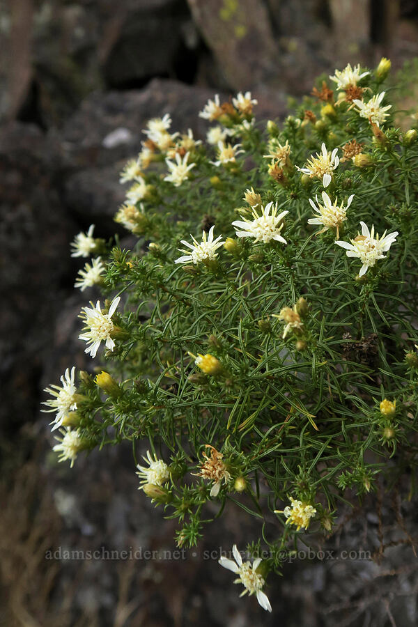 Columbia goldenweed/goldenbush (Ericameria resinosa (Haplopappus resinosus)) [Horsethief Butte, Columbia Hills State Park, Washington]