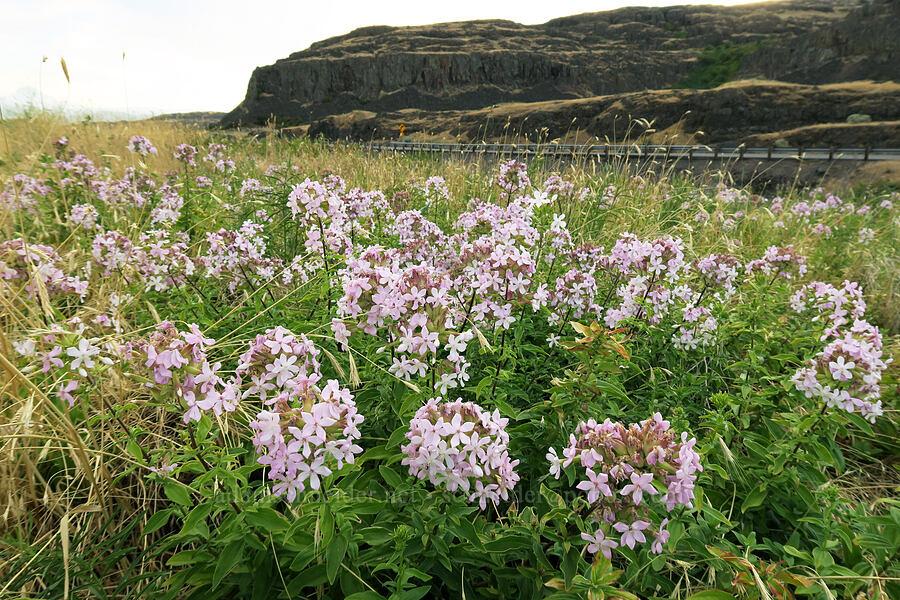 soapweed/soapwort (Saponaria officinalis) [Horsethief Butte Trail, Columbia Hills State Park, Washington]