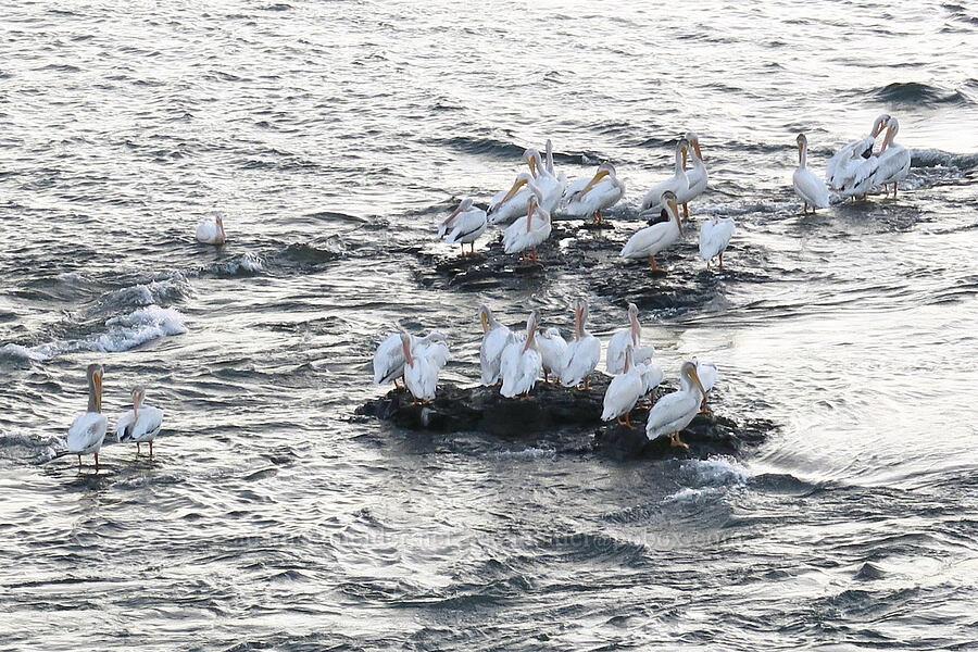 American white pelicans (Pelecanus erythrorhynchos) [The Dalles Bridge, The Dalles, Oregon]