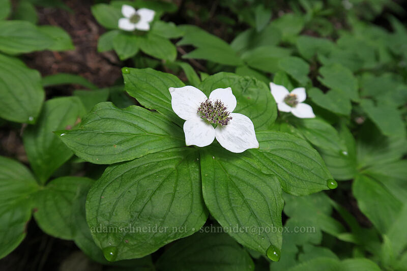 bunchberry flowers (Cornus unalaschkensis (Cornus canadensis)) [Top Spur Trail, Mt. Hood National Forest, Oregon]