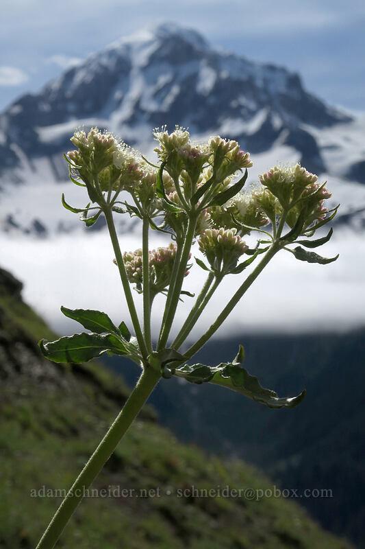 heart-leaf buckwheat (Eriogonum compositum) [Bald Mountain, Mt. Hood Wilderness, Oregon]