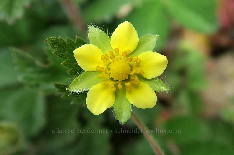 sticky cinquefoil (Drymocallis glandulosa (Potentilla glandulosa)) [Bald Mountain, Mt. Hood Wilderness, Oregon]