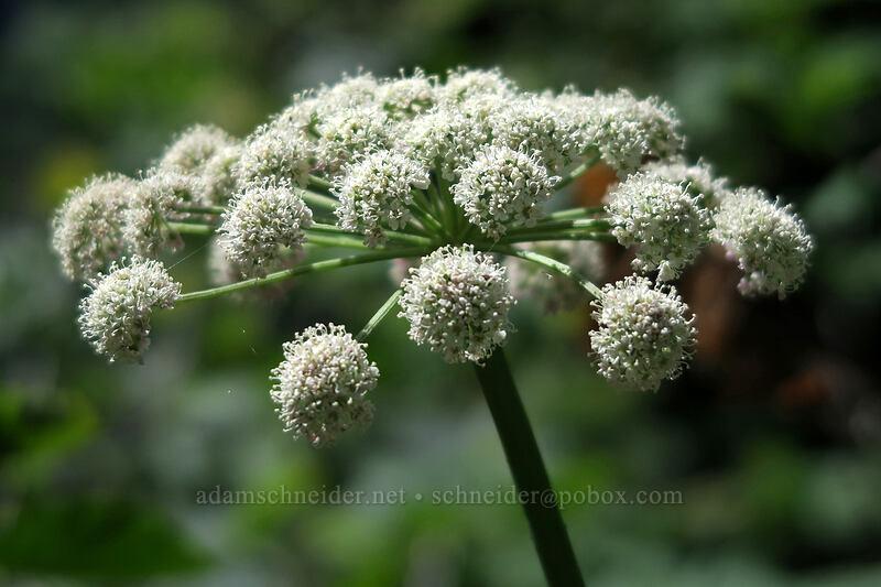 sharp-tooth angelica (Angelica arguta) [Bald Mountain, Mt. Hood Wilderness, Oregon]
