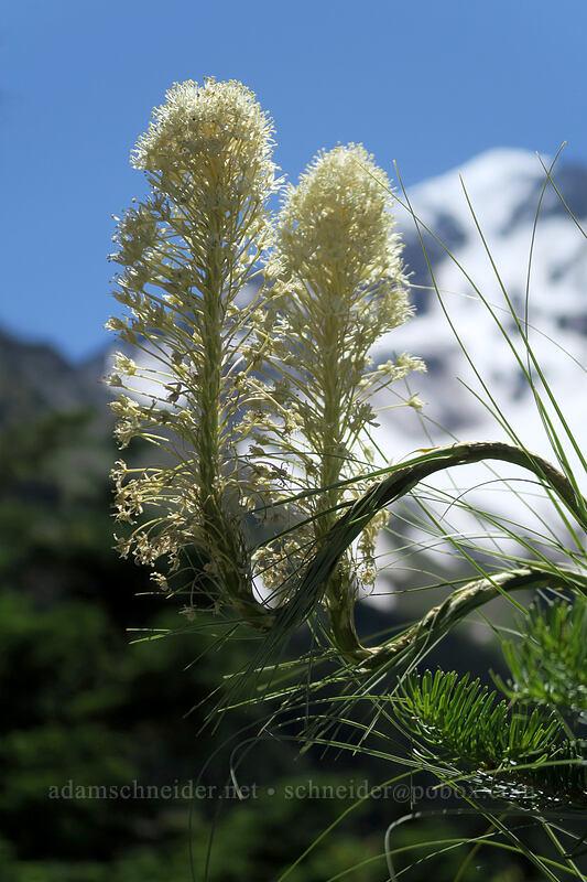 kinky beargrass (Xerophyllum tenax) [Timberline Trail, Mt. Hood Wilderness, Oregon]