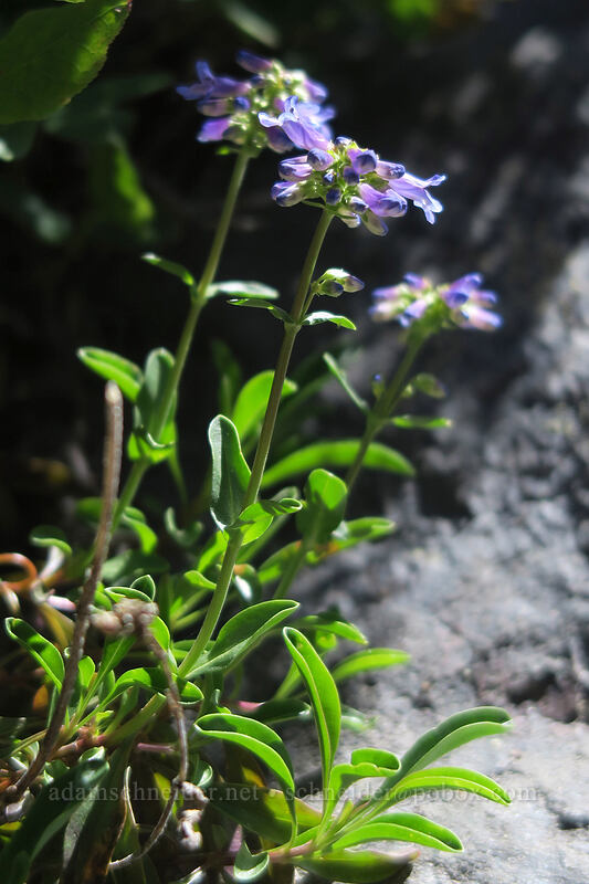 small-flowered penstemon (Penstemon procerus) [McNeil Point scramble trail, Mt. Hood Wilderness, Oregon]