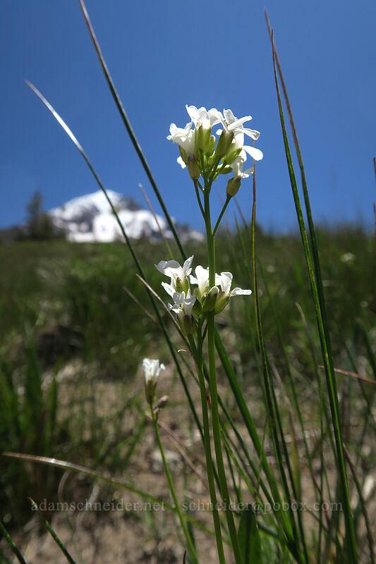 Cascade rock-cress (Arabis furcata) [McNeil Point, Mt. Hood Wilderness, Oregon]