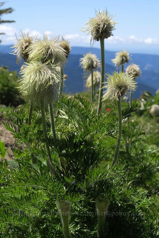 western pasqueflower (Anemone occidentalis) [McNeil Point, Mt. Hood Wilderness, Oregon]