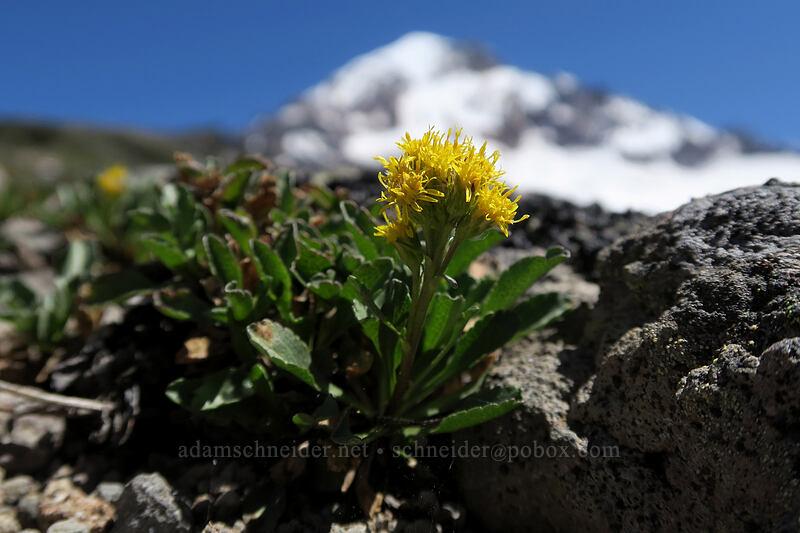 alpine goldenrod (Solidago simplex) [McNeil Point, Mt. Hood Wilderness, Oregon]