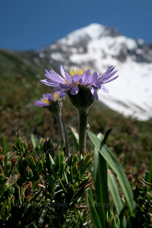 alpine aster (Oreostemma alpigenum (Aster alpigenus)) [McNeil Point, Mt. Hood Wilderness, Oregon]