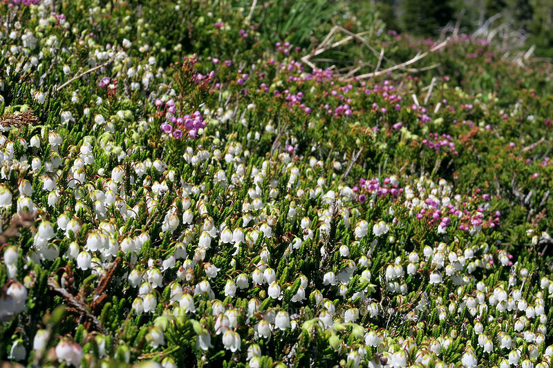 white & pink mountain heather (Cassiope mertensiana, Phyllodoce empetriformis) [McNeil Point, Mt. Hood Wilderness, Oregon]