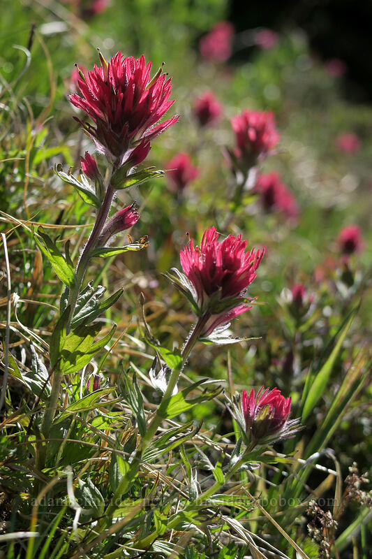 magenta paintbrush (Castilleja parviflora var. oreopola) [McNeil Point Trail, Mt. Hood Wilderness, Oregon]
