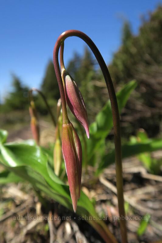 avalanche lilies, budding (Erythronium montanum) [McNeil Point Trail, Mt. Hood Wilderness, Oregon]