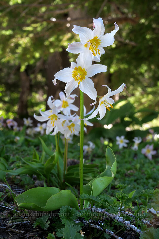 avalanche lilies (Erythronium montanum) [McNeil Point Trail, Mt. Hood Wilderness, Oregon]