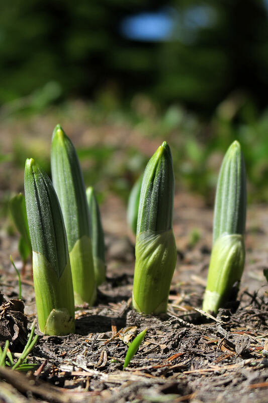 corn lily shoots (Veratrum viride) [McNeil Point Trail, Mt. Hood Wilderness, Oregon]