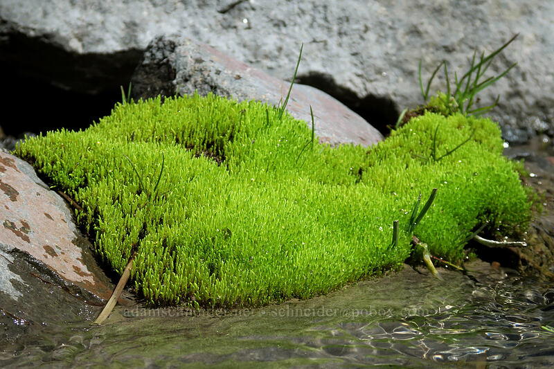 moss [Glisan Creek, Mt. Hood Wilderness, Oregon]