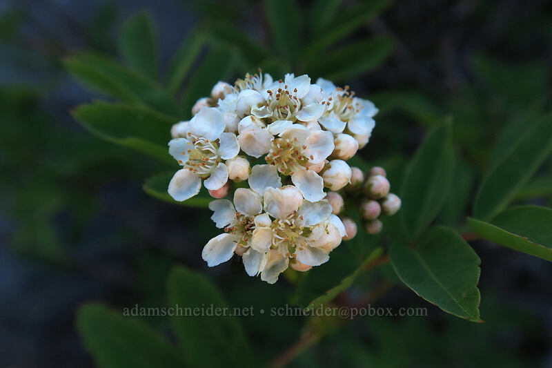 Sitka mountain-ash flowers (Sorbus sitchensis) [Timberline Trail, Mt. Hood Wilderness, Oregon]