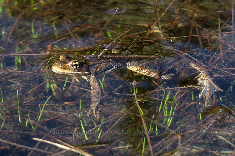 Cascades frog (Rana cascadae) [Timberline Trail, Mt. Hood Wilderness, Oregon]