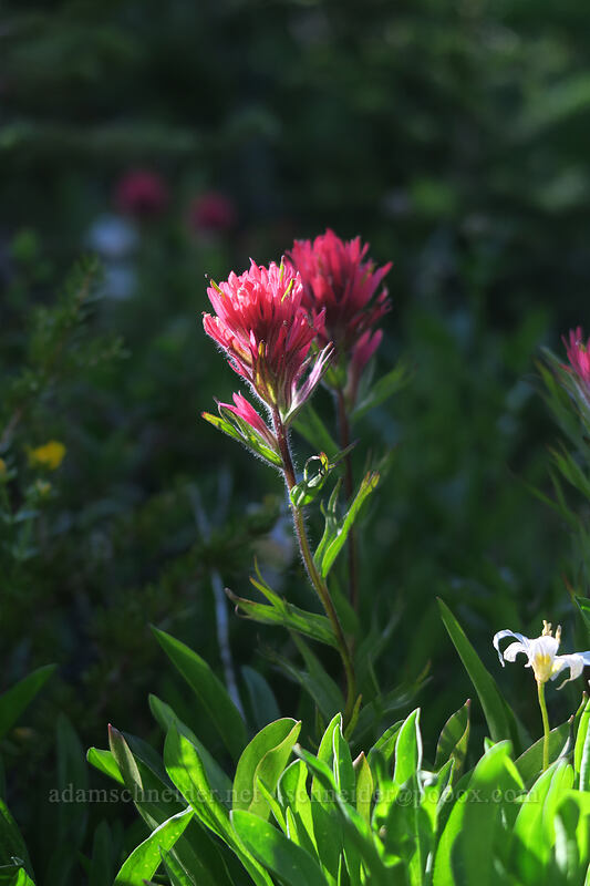 magenta paintbrush (Castilleja parviflora var. oreopola) [Timberline Trail, Mt. Hood Wilderness, Oregon]