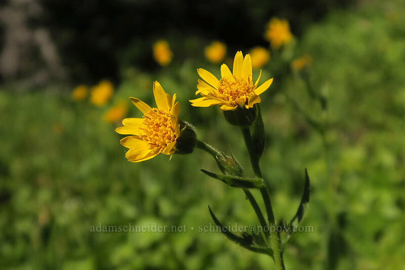 arnica (Arnica latifolia) [Timberline Trail, Mt. Hood Wilderness, Oregon]