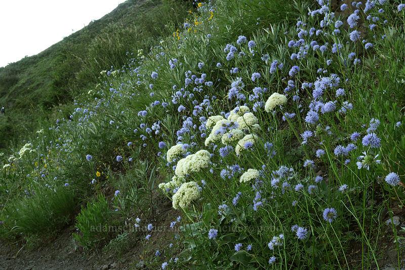 heart-leaf buckwheat & blue-head gilia (Eriogonum compositum, Gilia capitata) [Bald Mountain, Mt. Hood Wilderness, Oregon]
